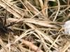 dam-jagtedderkop