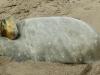strandhund-w