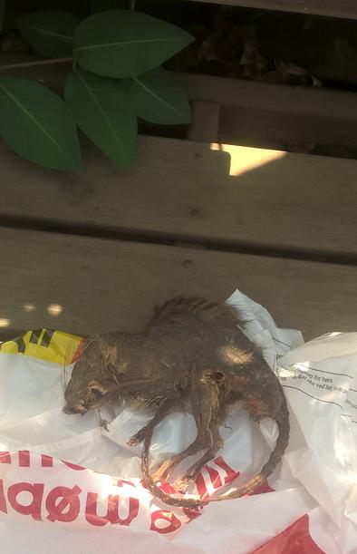 Rotte-mumiet her fandt Knud Mose bag køkkenskabet.